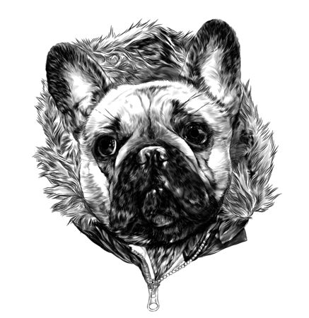 the head of the dog breed pug in the hoodie with warm fur, sketch vector graphics monochrome illustration on white background Stock Illustratie