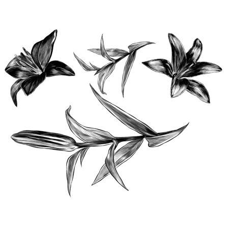 Blume Lilie Satz von Elementen Knospe blühen und Blätter, Skizze Vektorgrafik im grafischen Stil auf weißem Hintergrund