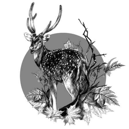 DOE stands at full height with his back turned and looks back round composition with a tree branch and autumn maple leaves, sketch vector graphics monochrome illustration on a white background