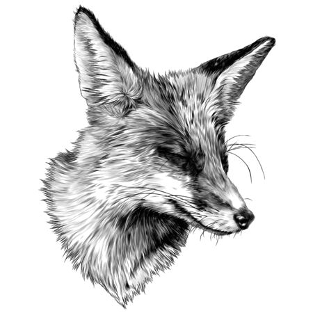 sly Fox face with closed eyes looks away squinting from the sun, sketch vector illustration in graphic style on a white background  イラスト・ベクター素材
