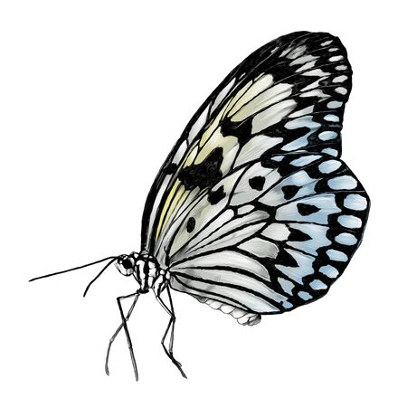 butterfly side view, sketch vector graphics color illustration on white background
