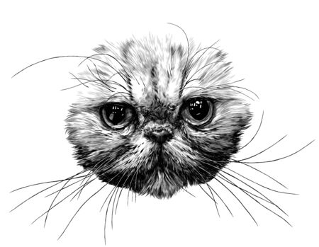 muzzle of a cat without ears of the Exot breed with a long mustache, sketch vector graphics monochrome illustration on a white background