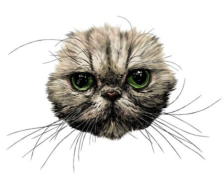 muzzle of a cat without ears of the Exot breed with long mustaches, sketch vector graphics color illustration on a white background