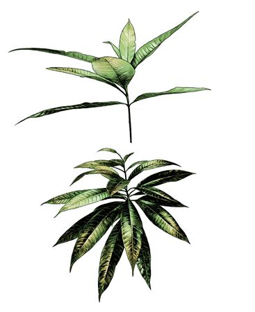 tropical bushes with wide leaves, sketch vector graphics color illustration on a white background 向量圖像