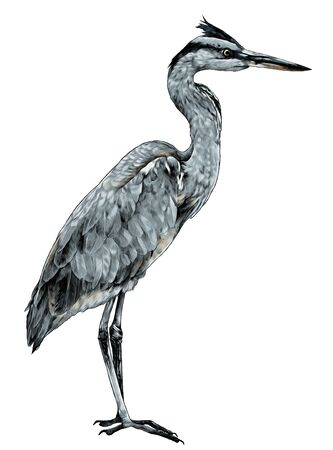 Heron stands full-length sideways and looks away, sketch vector graphics color illustration on a white background
