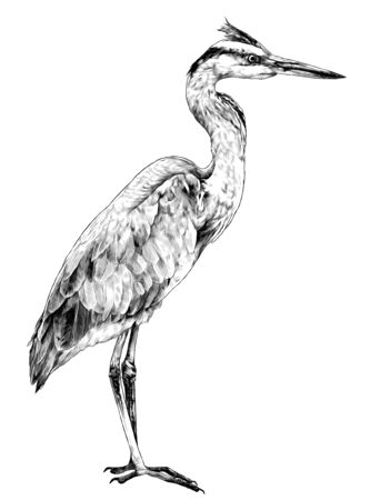 Heron stands full-length sideways and looks away, sketch vector graphics monochrome illustration on a white background