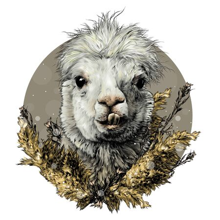 head of a funny cute Alpaca or llama with protruding teeth decorated with dry grass and decorated in a composition of plants, sketch vector graphics color illustration on a white background Ilustração
