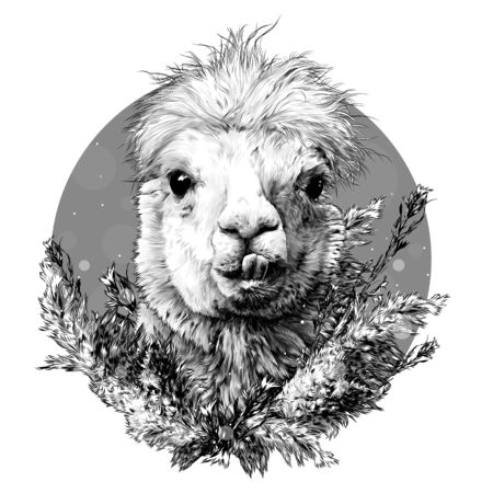 head of a funny cute Alpaca or llama with protruding teeth decorated with dry grass and decorated in a composition of plants, sketch vector graphics monochrome illustration on a white background