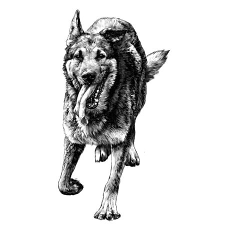 dog breed shepherd runs forward with his tongue hanging out Bouncing in the air, sketch vector graphics monochrome illustration on a white background