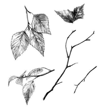 set of birch branches and leaves, sketch vector graphics monochrome illustration on a white background Иллюстрация