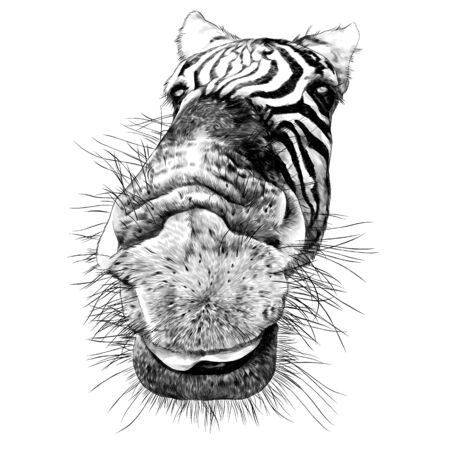 Zebra face nose and mouth close-up looking at the camera strong perspective, sketch vector graphics monochrome illustration on a white background