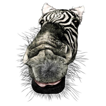Zebra face nose and mouth close-up looking at the camera strong perspective, sketch vector graphics color illustration on a white background