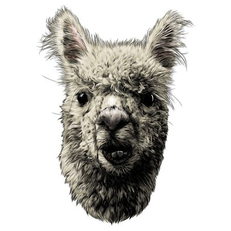 llama or Alpaca head funny expression of the muzzle with raised ears and displaced jaw and malocclusion, sketch vector graphics color illustration on a white background