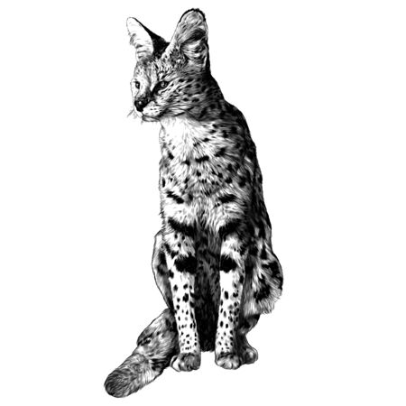 spotted cat of Serval breed sits at full height and looks away, sketch vector graphics monochrome illustration on a white background