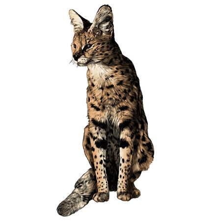 spotted cat of Serval breed sitting at full height and looking away, sketch vector graphics color illustration on a white background Çizim