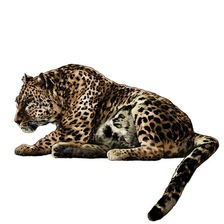 the Jaguar is lying full length with its tail down and looking towards the side profile, sketch vector graphics color illustration on a white background