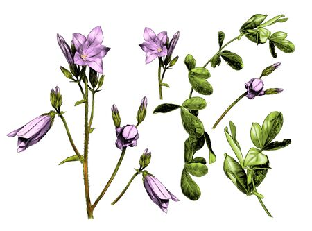 set with a picture of plants a sprig of a bell flower with open buds and a blade of grass with leaves, sketch vector graphics color illustration on a white background