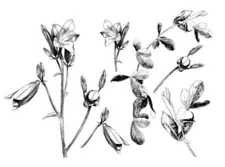 set with a picture of plants a sprig of a bell flower with open buds and a blade of grass with leaves, sketch vector graphics monochrome illustration on a white background Illustration