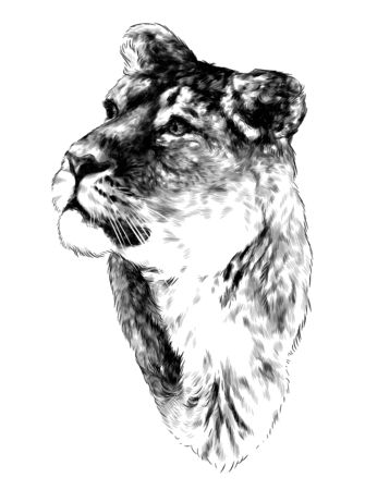 tigress head looks to the side in three quarters, sketch vector graphics monochrome drawing on a white background