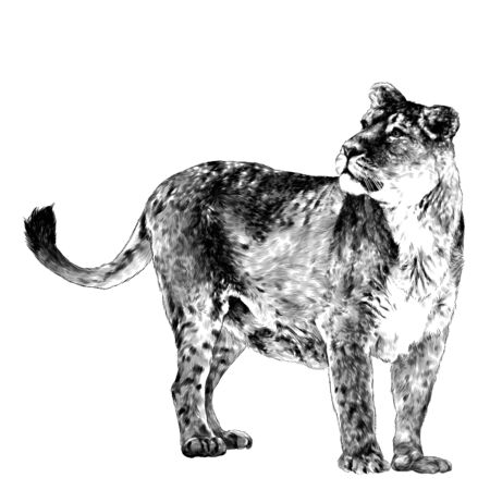 tigress head looks to the side in three-quarters stands tall, sketch vector graphics monochrome drawing on a white background