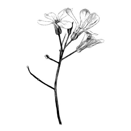 twig with three flowers, sketch vector graphics monochrome illustration on a white background