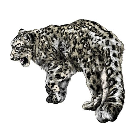 full-length Jaguar walking backwards tail close-up, sketch vector graphics color illustration
