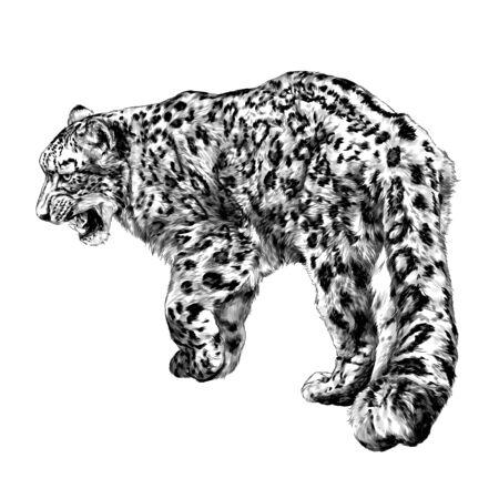 full-length Jaguar walking backwards tail close-up, sketch vector graphics monochrome illustration on white background Illustration