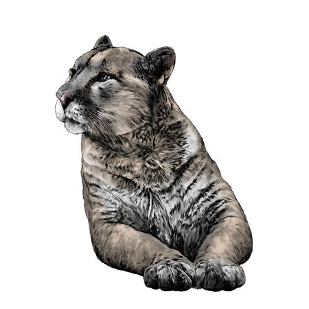 Puma lies on its front paws and looks away with a calm, balanced gaze, sketch vector graphics color illustration on a white background