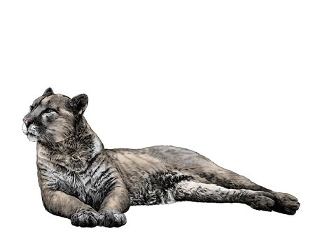 the Puma is lying full length and looks away with a calm balanced gaze and hind legs are folded to the side, sketch vector graphics color illustration on a white background Ilustracja