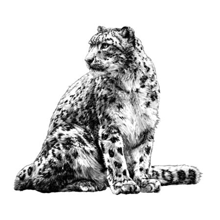 snow leopard animal sitting at full height and looking sideways tail around the body, sketch vector graphics monochrome illustration on a white background