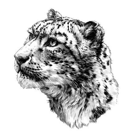 snow leopard animal head in profile close up sketch vector graphics monochrome illustration on white background