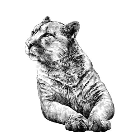 Puma lies on its front paws and looks away with a calm, balanced gaze, sketch vector graphics monochrome illustration on a white background