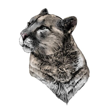 Puma head looks to the side in profile calm balanced look, sketch vector graphics color illustration on a white background
