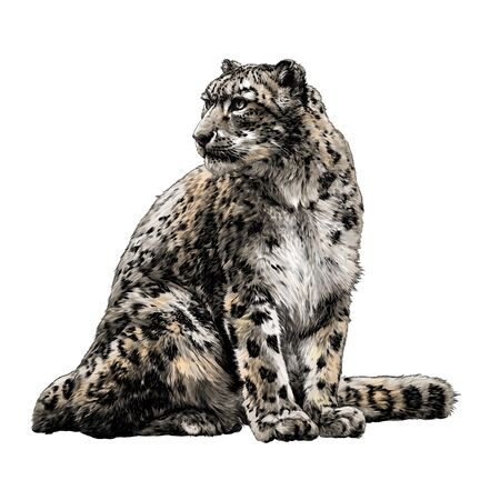 snow leopard animal sitting at full height and looking sideways tail around the body, sketch vector graphics color illustration on a white background
