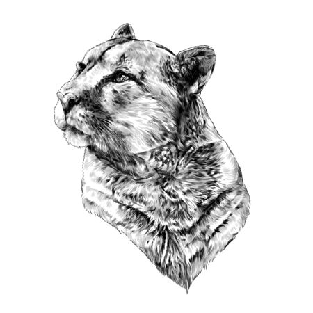 Puma head looking to the side in profile, the quiet steady gaze, sketch, vector graphics monochrome illustration on white background
