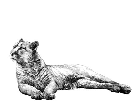 the Puma is lying full length and looks away with a calm balanced gaze and hind legs are folded to the side, sketch vector graphics monochrome illustration on a white background