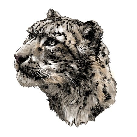 snow leopard animal head in profile close up sketch vector graphics color illustration on white background