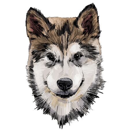 dog purebred Alaskan Malamute puppy head close-up, sketch vector graphics color illustration on white background Illustration