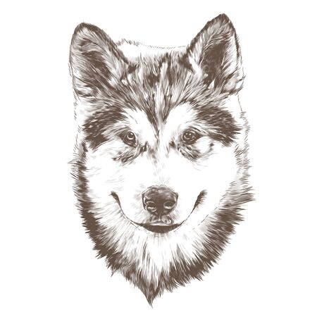 dog purebred Alaskan Malamute puppy head close-up, sketch vector graphics monochrome illustration on white background