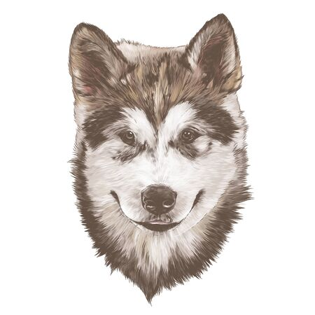 dog purebred Alaskan Malamute puppy head close-up, sketch vector graphics color illustration on white background