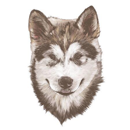 dog purebred Alaskan Malamute puppy head close-up, sketch vector graphics color illustration on white background