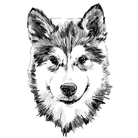 dog purebred Alaskan Malamute puppy head close-up, sketch vector graphics monochrome illustration on white background Фото со стока - 148540075