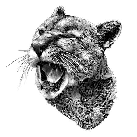 Cougar face with open mouth winks one eye with a malicious smile, sketch drawing in graphic style on white background 版權商用圖片 - 158253449