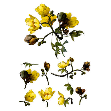 set of different elements of flowering branches of the cochlospermum tree with yellow flower buds and leaves, sketch vector graphics color drawing in lines on a white background