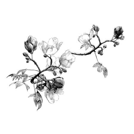 blooming branch of the cochlospermum tree with flower buds and leaves, sketch vector graphics monochrome drawing in lines on a white background