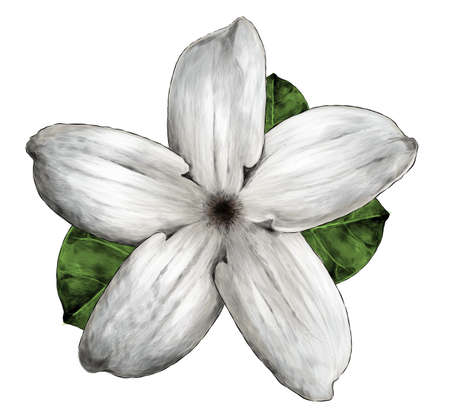 jasmine flower bloomed, sketch vector graphics color illustration on white background