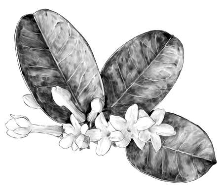 composition of flowers and leaves of jasmine large bouquet, sketch vector graphics monochrome illustration on a white background