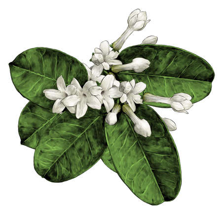 composition of flowers and leaves of jasmine large bouquet, sketch vector graphics color illustration on a white background Vectores