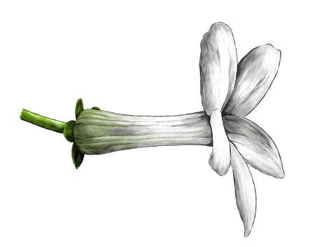 jasmine bud bloomed side view, sketch vector graphics color illustration on white background Illustration