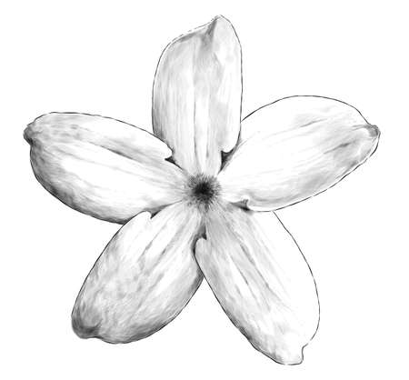 jasmine flower bloomed, sketch vector graphics monochrome illustration on white background Illustration